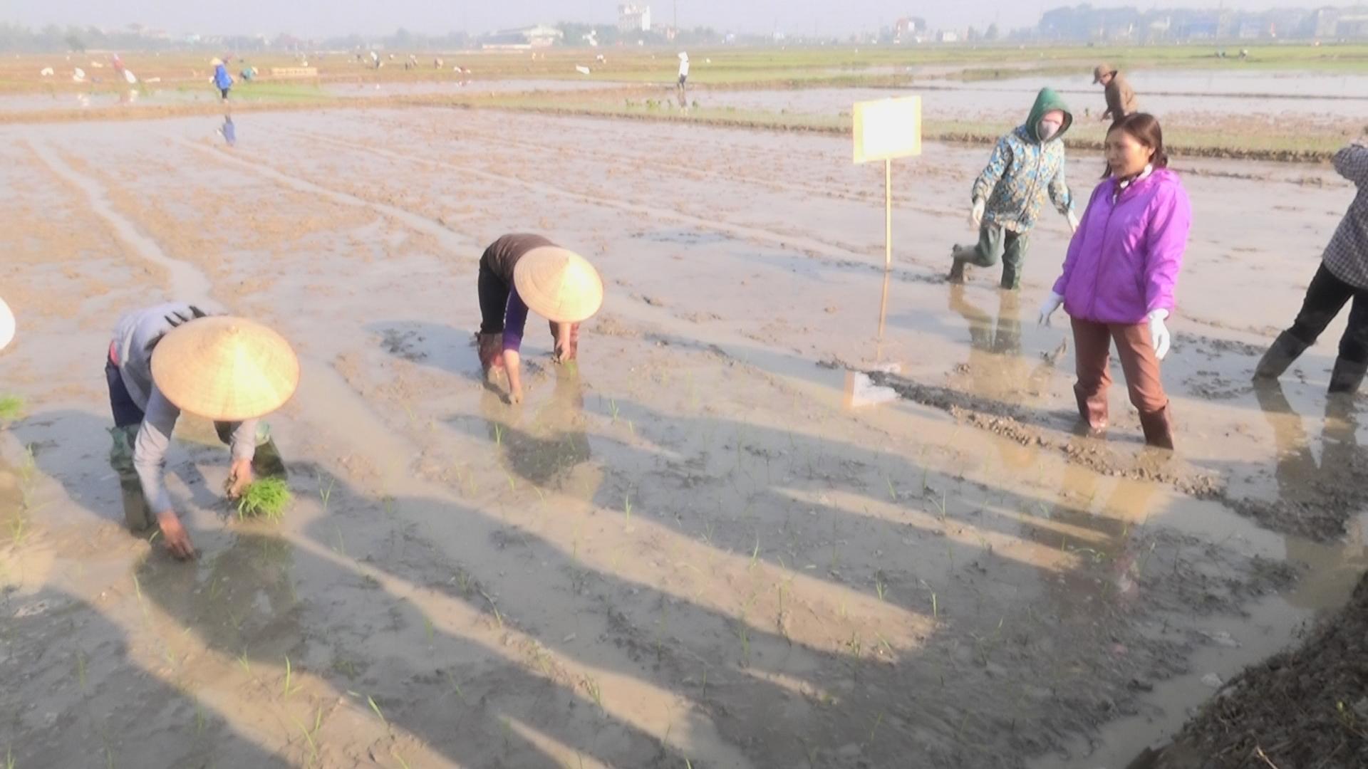 Trạm Bảo vệ thực vật huyện Thạch Thất tổ chức tập huấn cấy lúa SRI tại ruộng cho 5 xã