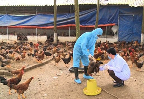 Tập trung triển khai quyết liệt, đồng bộ các biện pháp phòng, chống dịch bệnh gia súc, gia cầm trên địa bàn huyện năm 2021