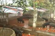 Mô Hình Nuôi Lợn Rừng ở xã Yên Bình - huyện Thạch Thất
