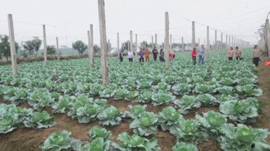 Hội nghị đầu bờ mô hình luân canh cây trồng tại xã Hương Ngải.