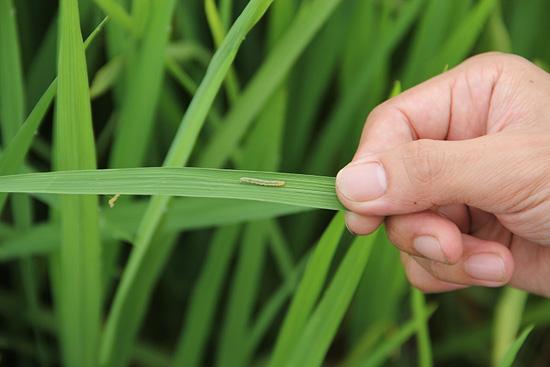 Tập trung chỉ đạo phòng trừ sâu cuốn lá nhỏ và các đối tượng sâu bệnh hại lúa, cây màu vụ mùa 2020