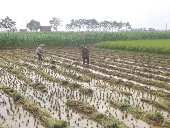 Nông dân xã Đại Đồng tích cực sản xuất vụ đông.