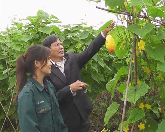 Sản xuất vụ đông và hiệu quả từ vùng sản xuất rau an toàn ở xã Bình Yên, huyện Thạch Thất.