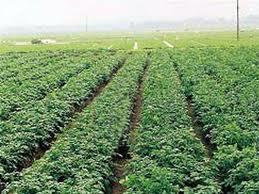 Bà con nông dân xã Hương Ngải áp dụng thành công mô hình trồng khoai tây sạch bệnh
