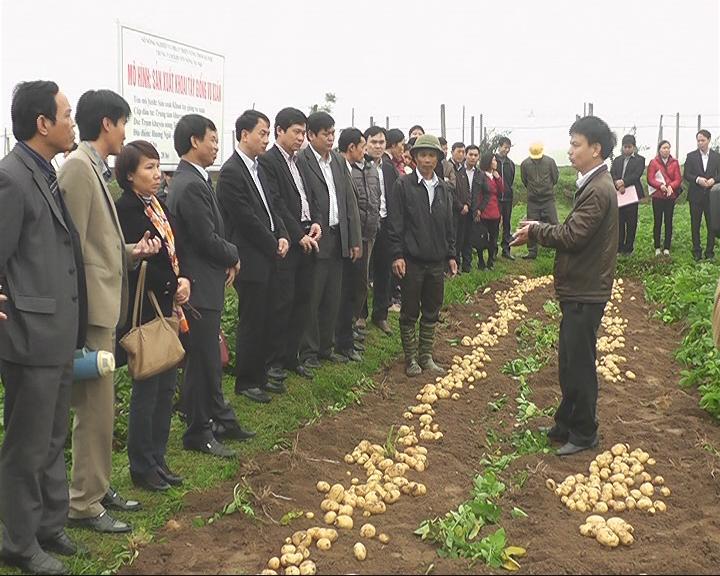 Mô hình sản xuất khoai tây vụ xuân năm 2015 tại xã Hương Ngải- huyện Thạch Thất