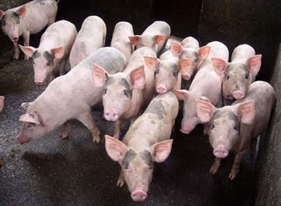 Thạch Thất: Thực hiện nhiều giải pháp phát triển chăn nuôi lợn trước diễn biến của dịch Covid-19