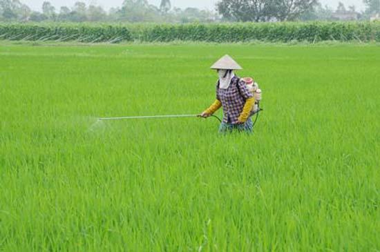 UBND huyện Thạch Thất chỉ đạo phòng trừ bệnh đạo ôn hại lúa xuân năm 2017