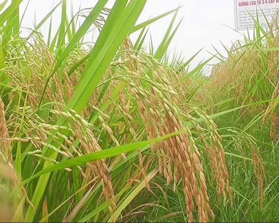 Trạm Khuyến nông Thạch Thất triển khai hiệu quả mô hình trình diễn giống lúa lai hai dòng TH 3 - 5