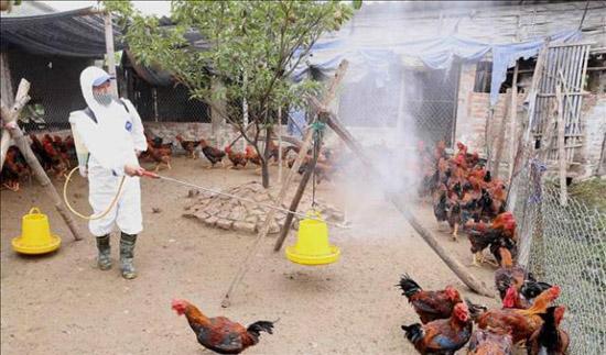 Tập trung triển khai quyết liệt, đồng bộ các giải pháp kiểm soát, phòng chống bệnh Cúm gia cầm trên địa bàn huyện