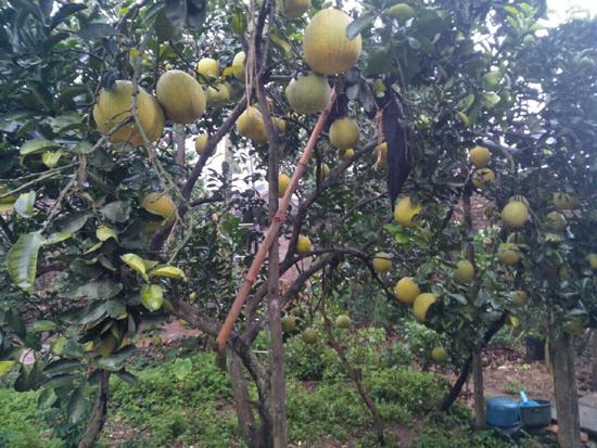 Niềm vui của người nông dân trồng Bưởi xã Phú Kim