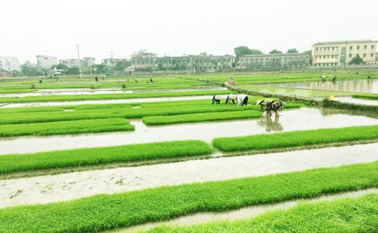 Thạch Thất: Tập trung lấy nước đợt 3 phục vụ sản xuất vụ Xuân năm 2021