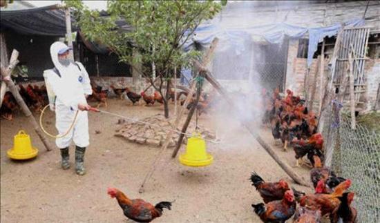 Tích cực triển khai các biện pháp phòng, chống dịch cúm gia cầm