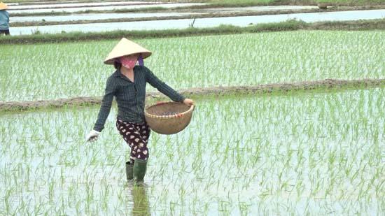 Xã Yên Bình hoàn thành gieo cấy 100% diện tích lúa xuân